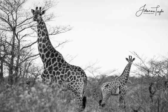 GiraffesBW-signed