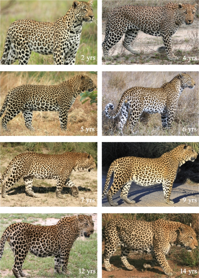 Male_Leopard_Dewlap_Development