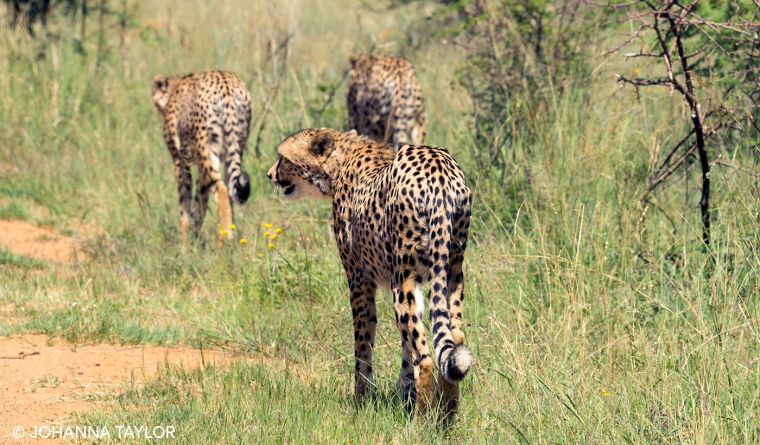 Cheetah-Sisters-Blog-Photo-e-IMG_1244.jpg